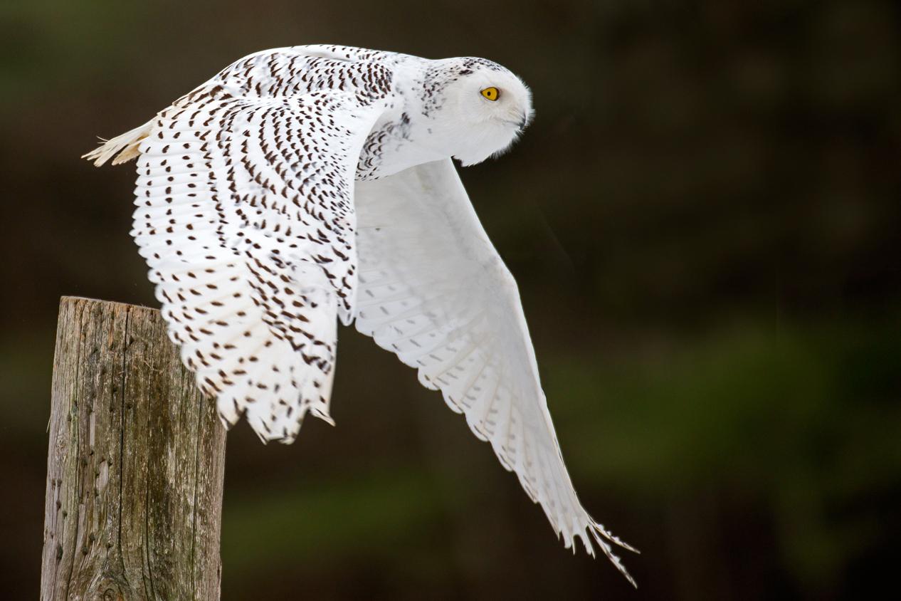 Snowy Owl Wikipedia