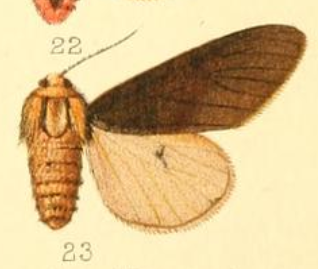 <i>Spilosoma fuscipennis</i> species of insect