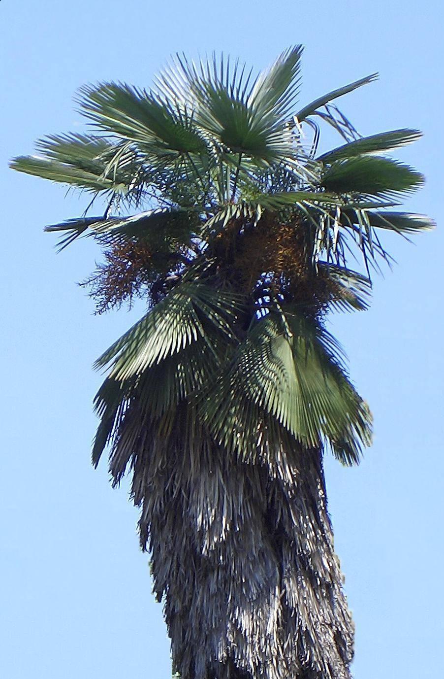 Trachycarpus Takil Wikipedia