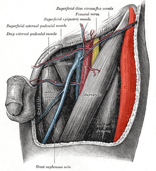múscul tensor de la fàscia lata - viquipèdia, l'enciclopèdia lliure, Muscles