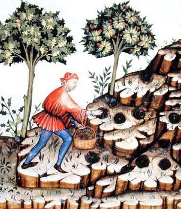 Immagine storica sulla raccolta dei tartufi