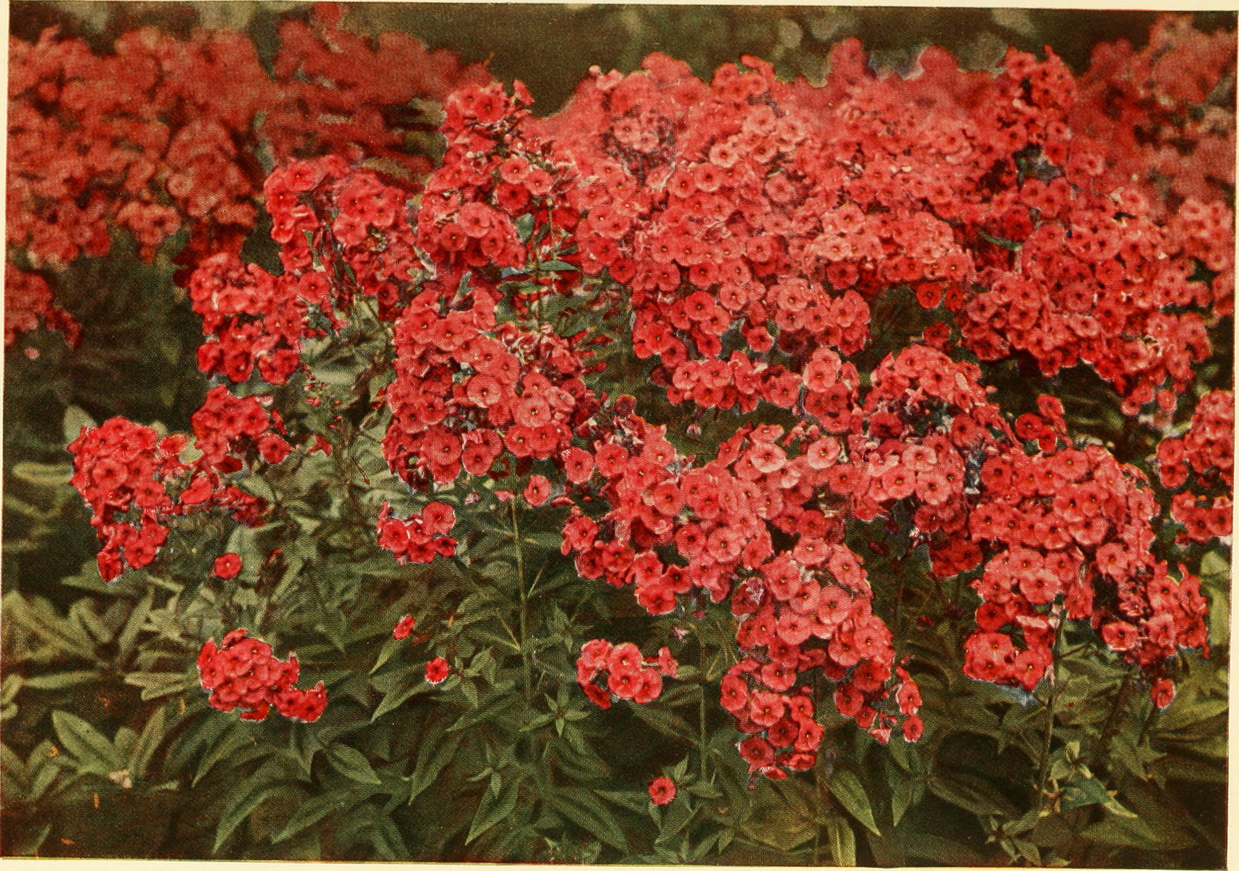 Filethe book of hardy flowers a simple and complete descriptive filethe book of hardy flowers a simple and complete descriptive guide to the cultivation in gardens of the trees and shrubs perennial and annual flowers izmirmasajfo