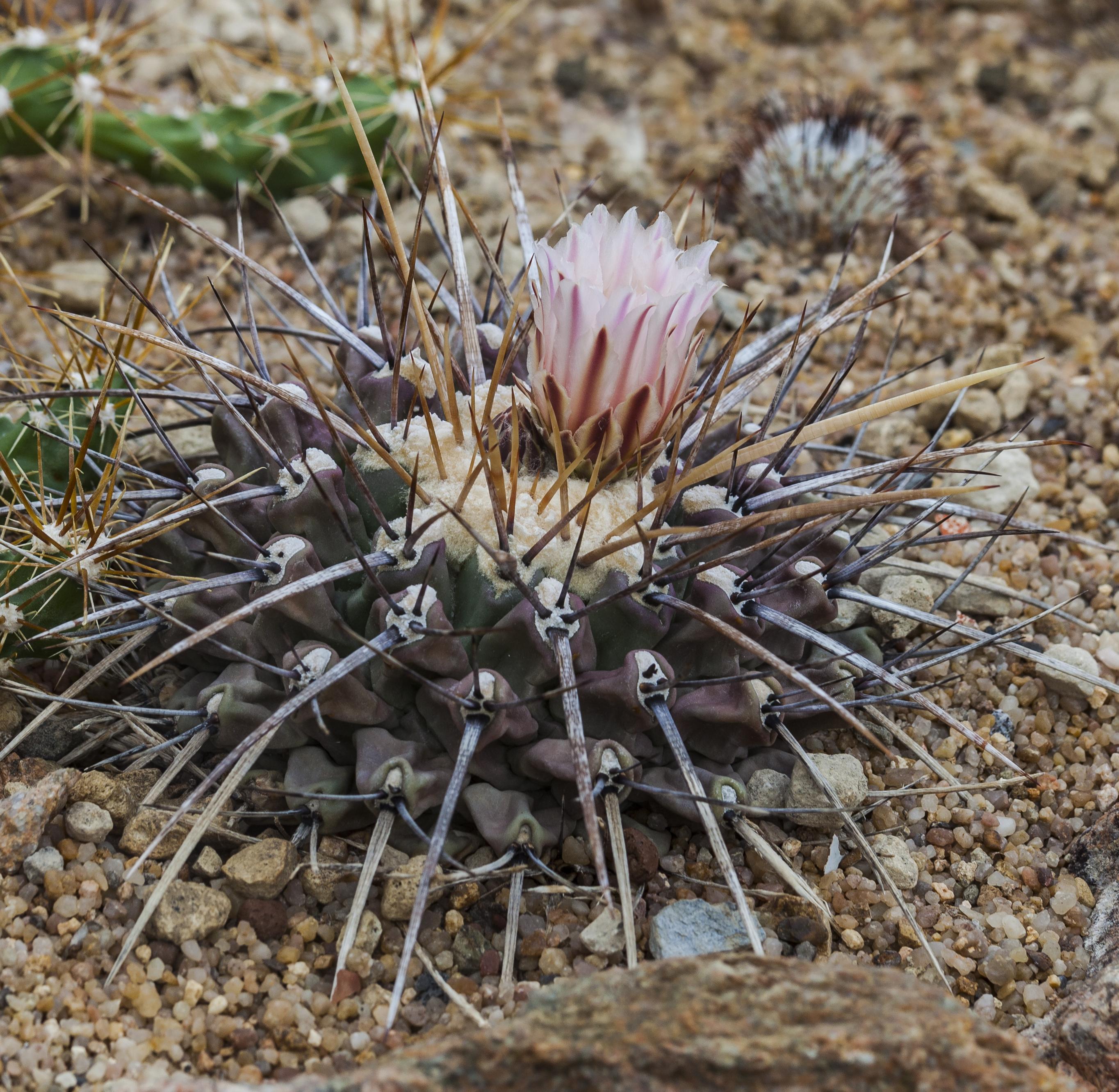 File thelocactus tulensis jard n bot nico de m nich for Botanico jardin