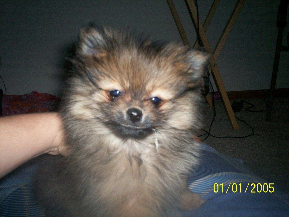 Toy Pomeranian 13