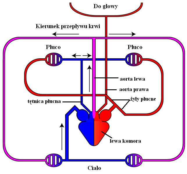 Uk%C5%82ad_krwiono%C5%9Bny_gad%C3%B3w.JPG