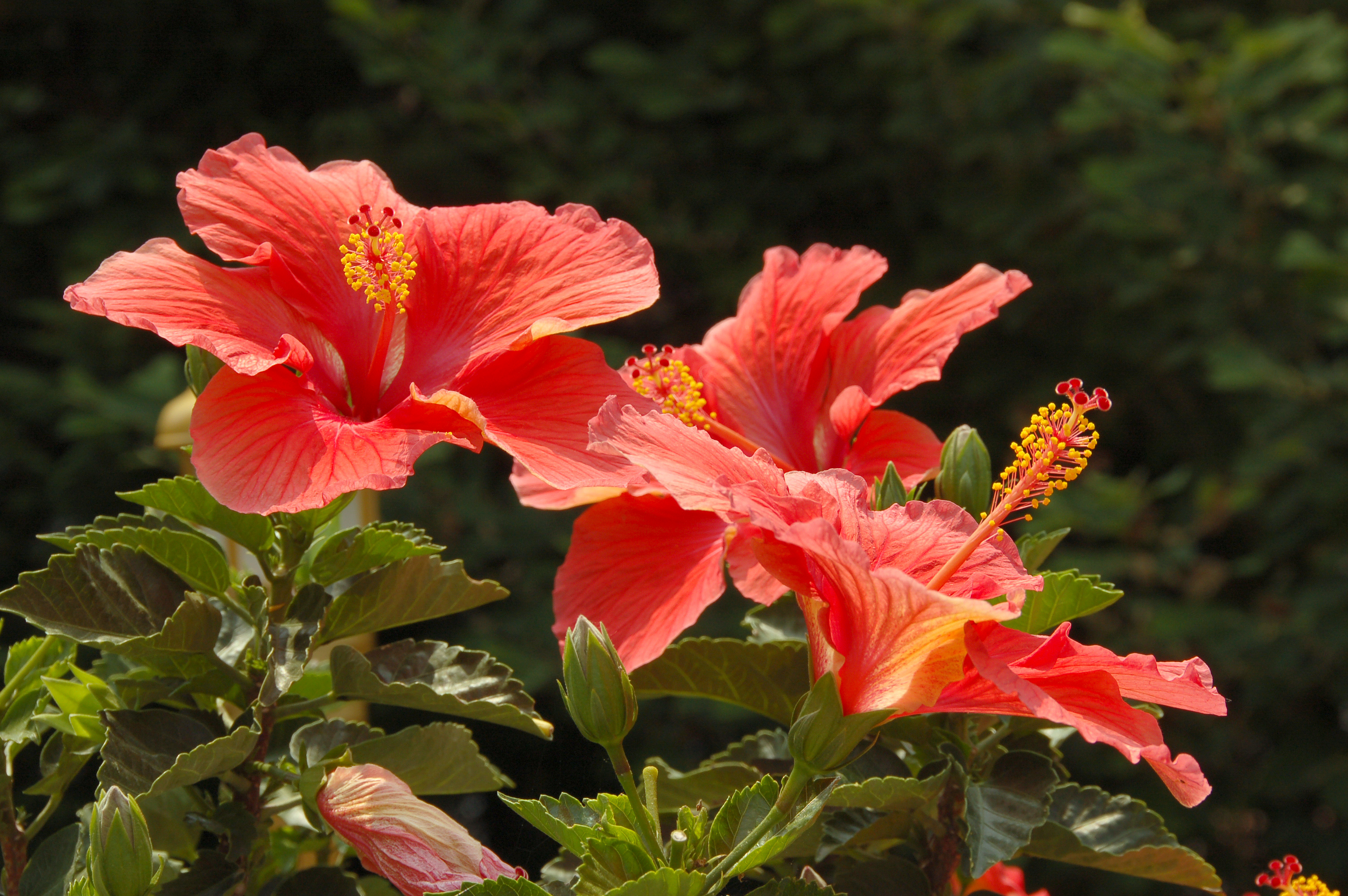 Photos of hibiscus flowers savingourboysfo where to buy hibiscus flowers flower natural flower izmirmasajfo