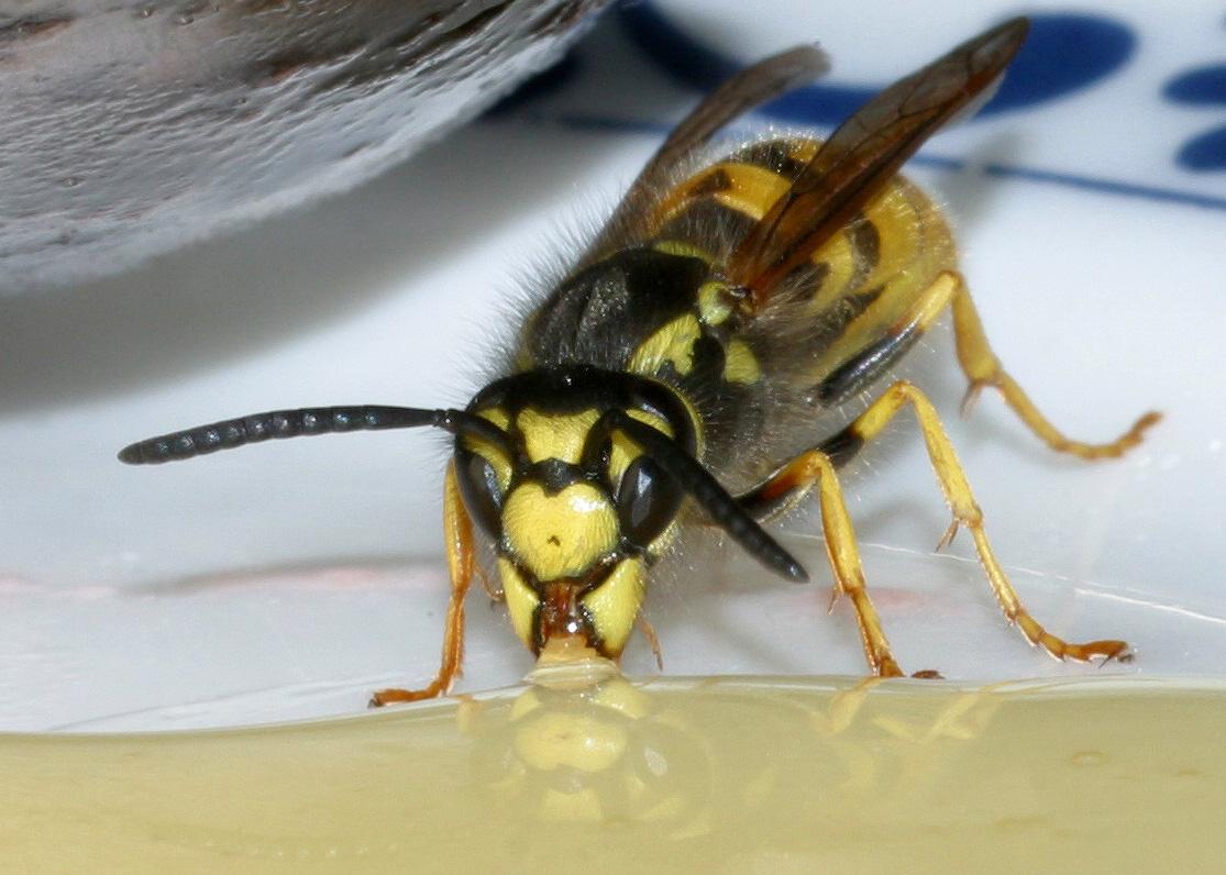 eastern lubber grasshopper  Romalea guttata Houttuyn