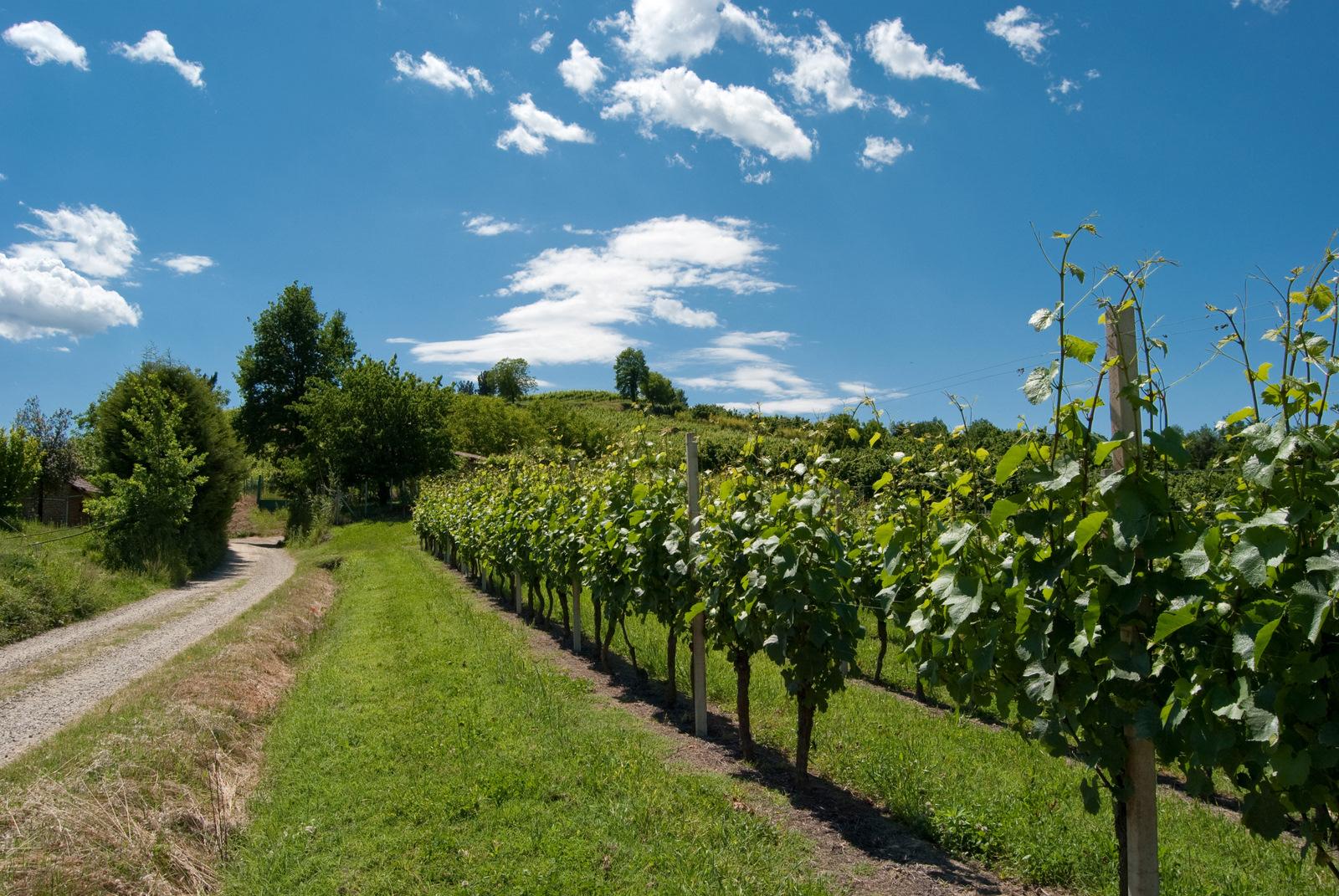 Viticoltura - foto di Virginia Scarsi
