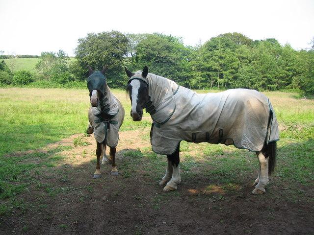 File:Well dressed horses - geograph.org.uk - 208371.jpg