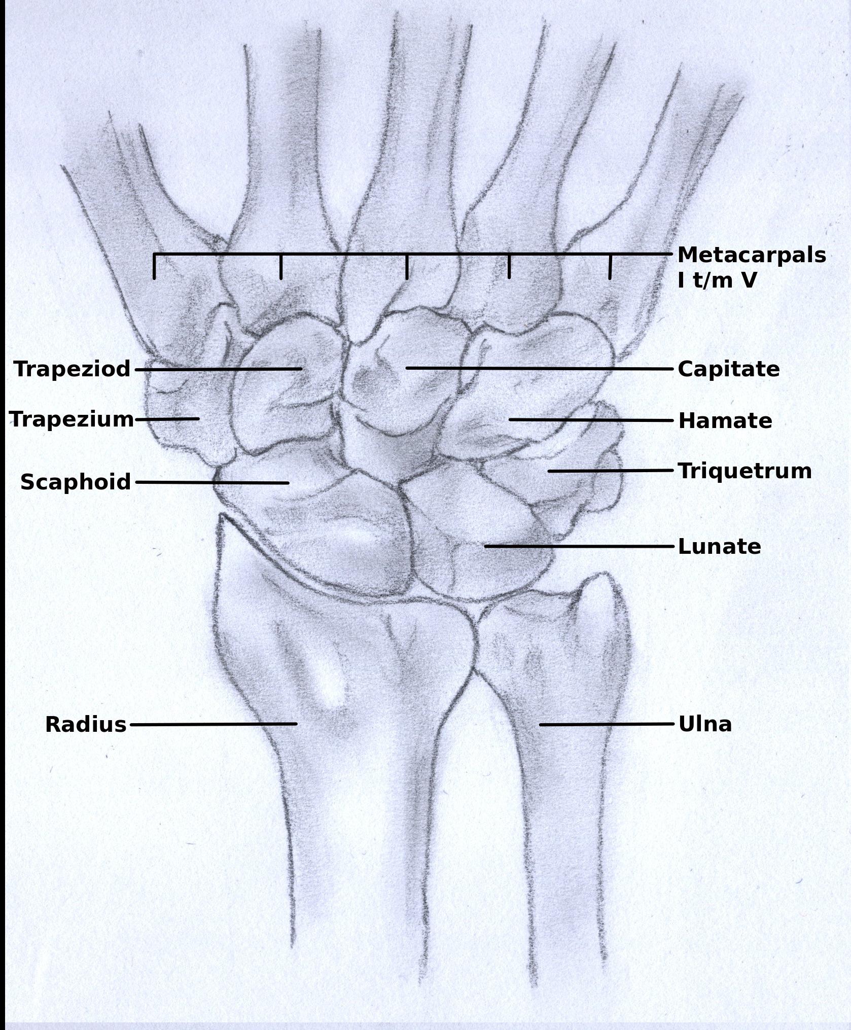File:Wrist anatomy.jpg - Wikimedia Commons
