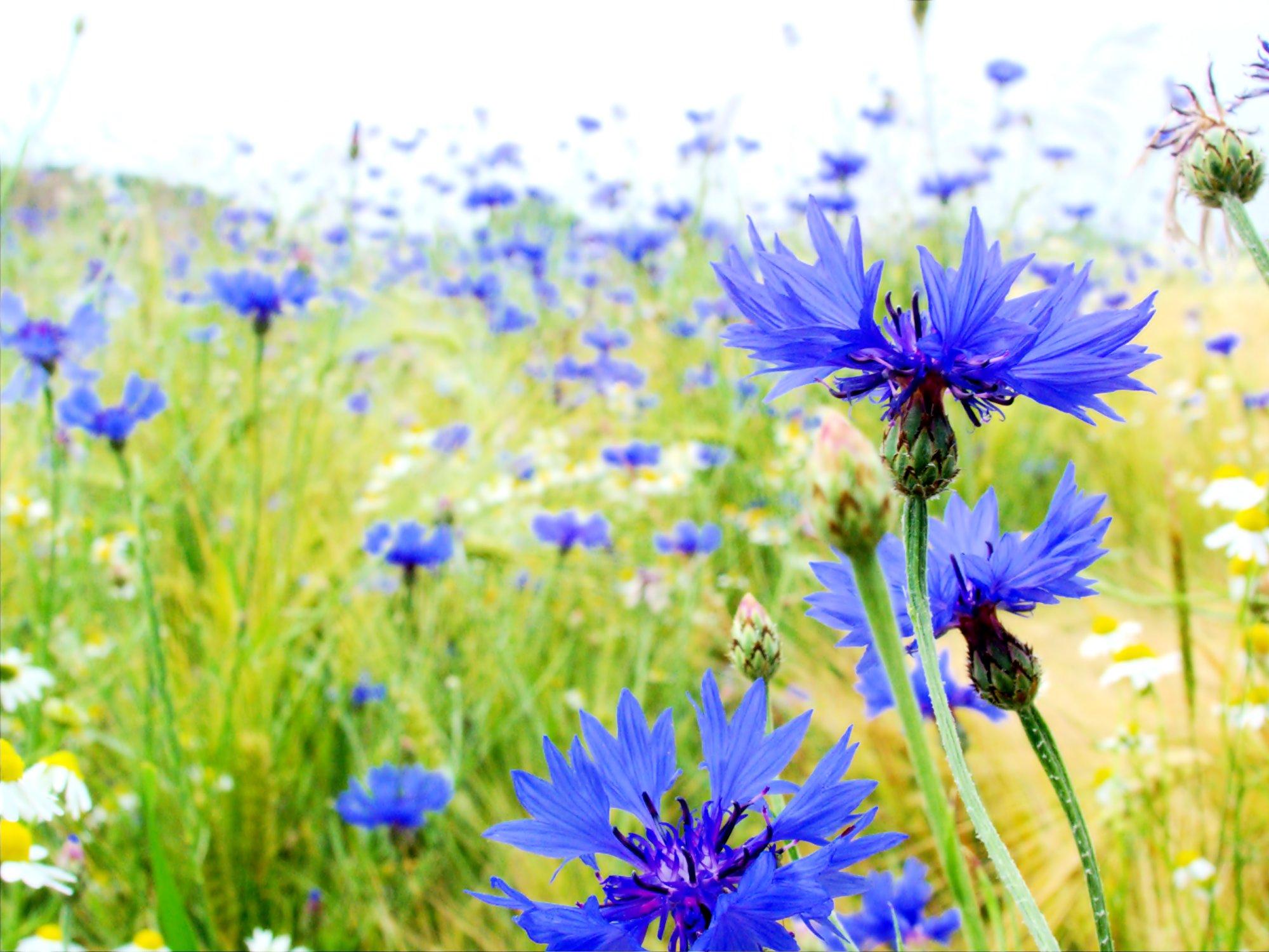 Blaue Blume Wikipedia