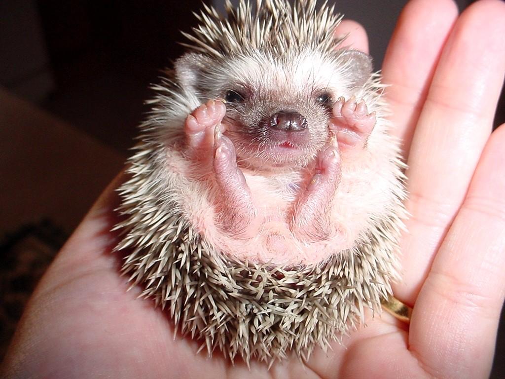 Desert hedgehog - Wikipedia
