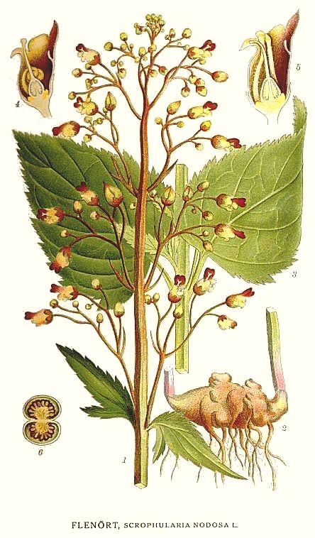 File:112 Scrophularia nodosa.jpg - Wikimedia Commons Kalanchoe Pinnata