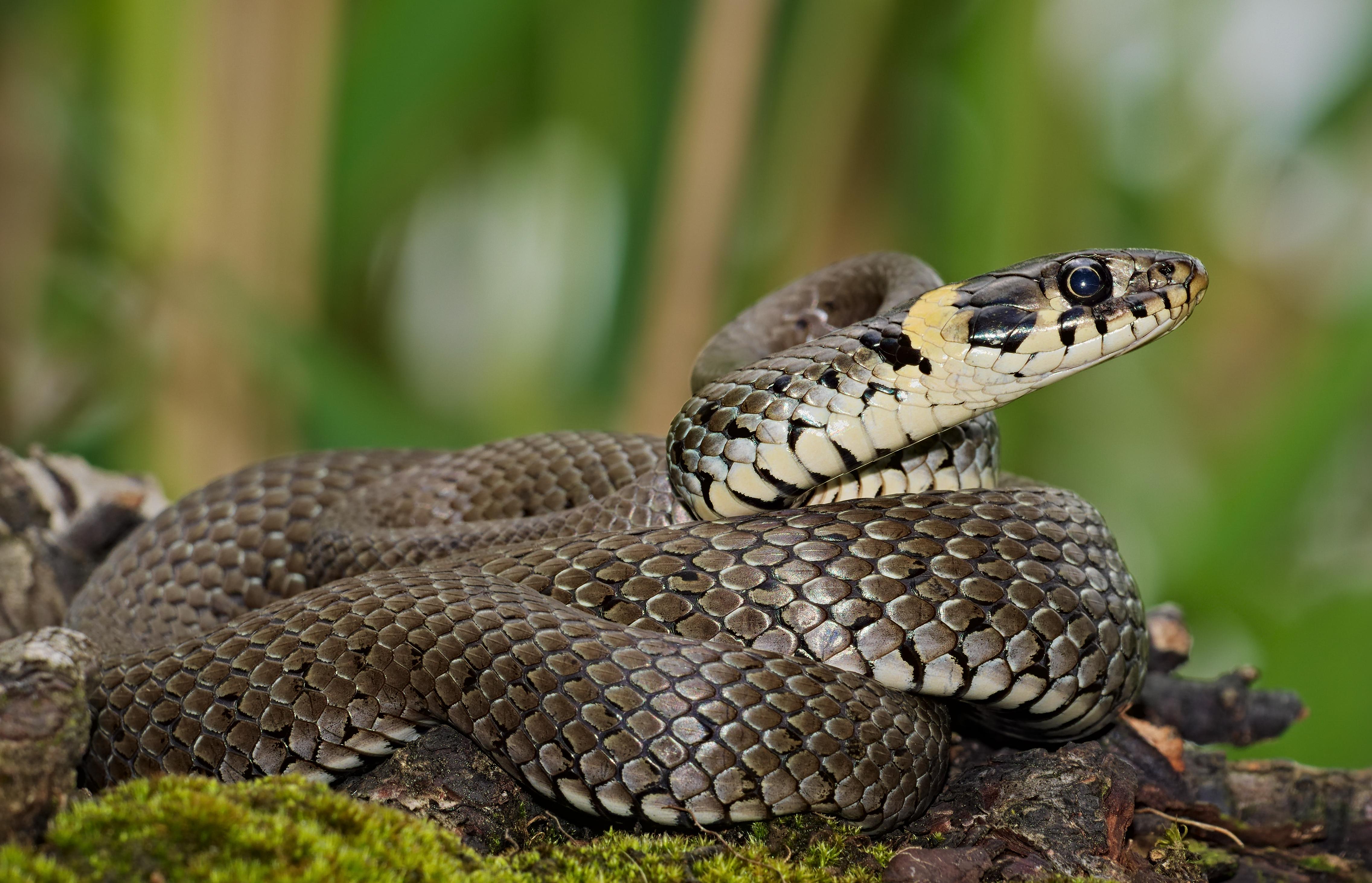 Sex mit einer schlange