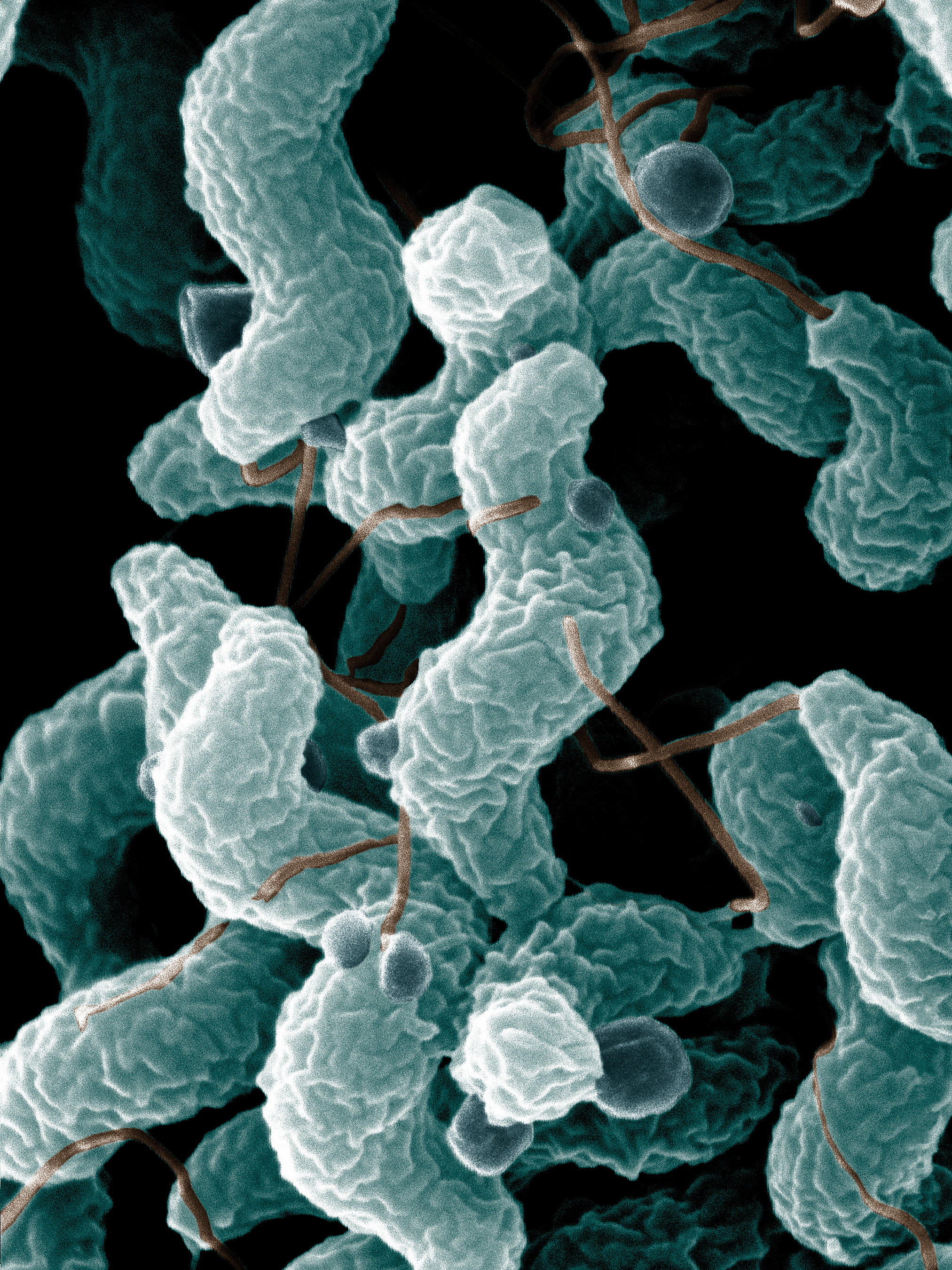 What Does Campylobacter Jejuni Need To Thrive