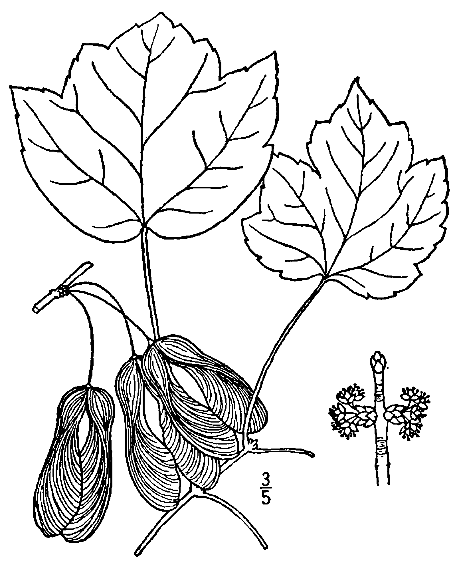 file acer rubrum trilobum drawing png wikimedia commons