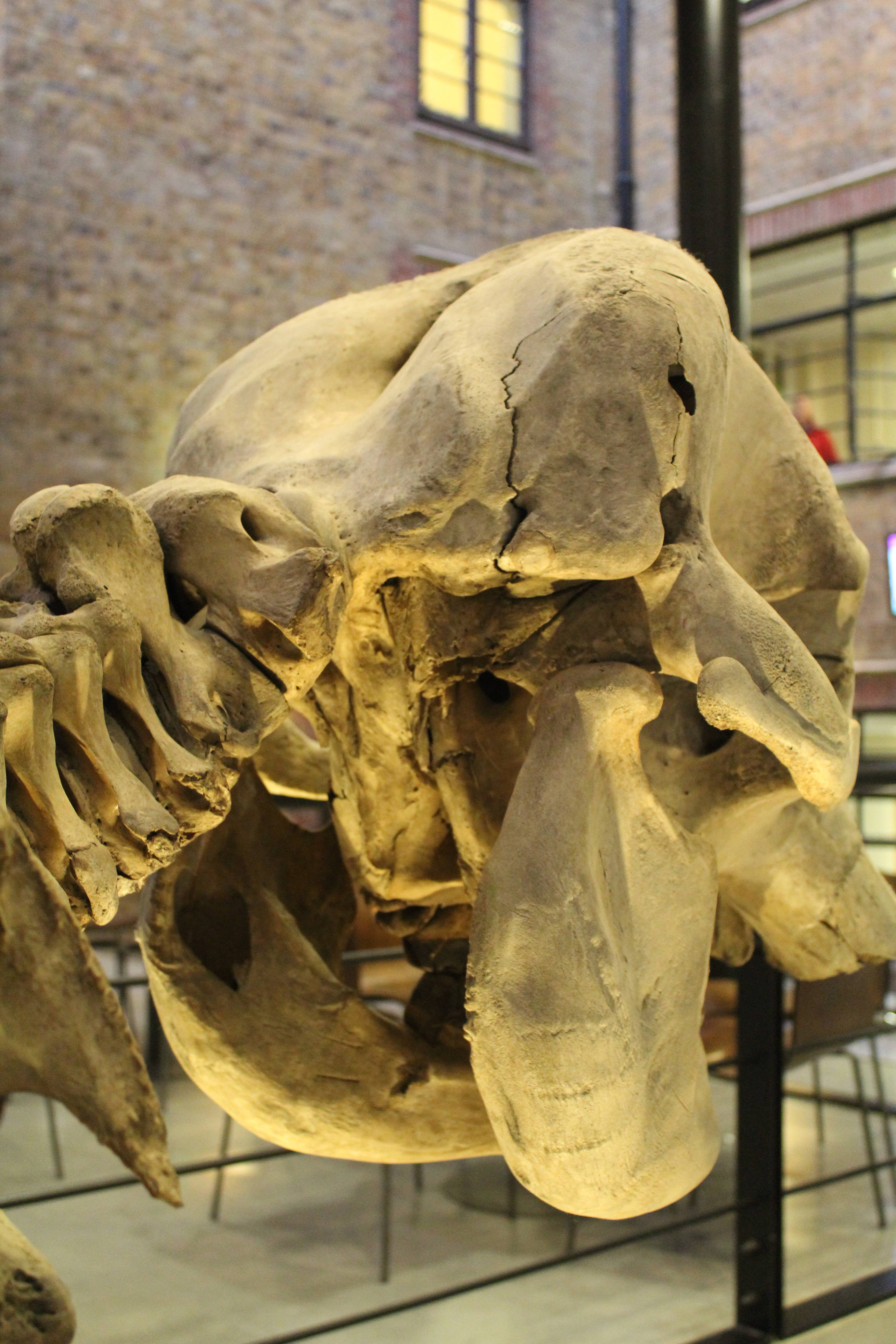 File:African elephant skeleton (9) at the Royal Veterinary College ...