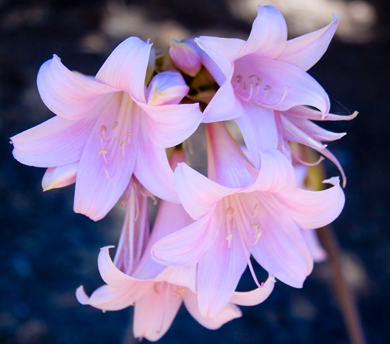 file amaryllis belladonna 5 jpg wikimedia commons. Black Bedroom Furniture Sets. Home Design Ideas