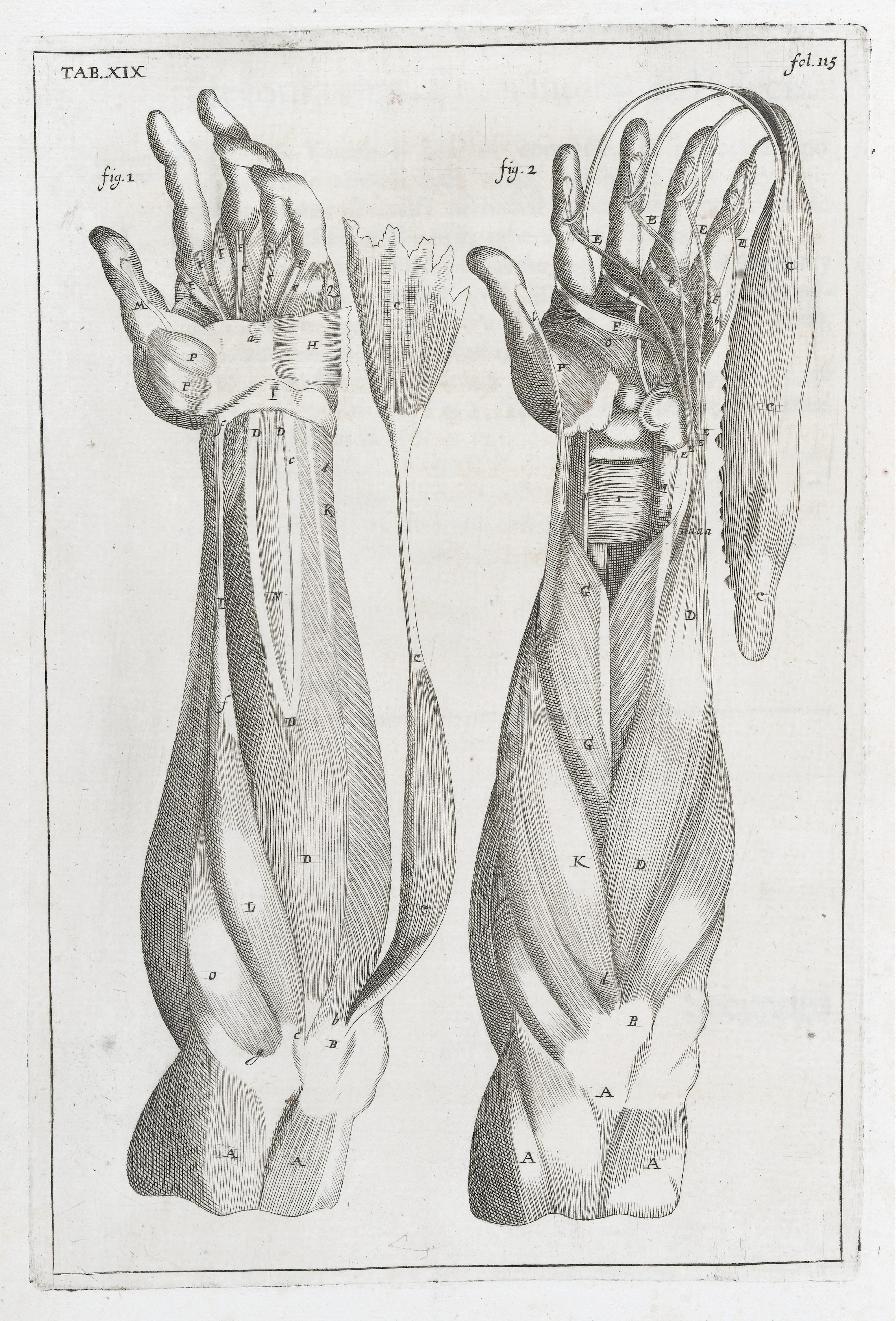 Fileanatomical Illustrations Showing Muscles Of The Lower Arm