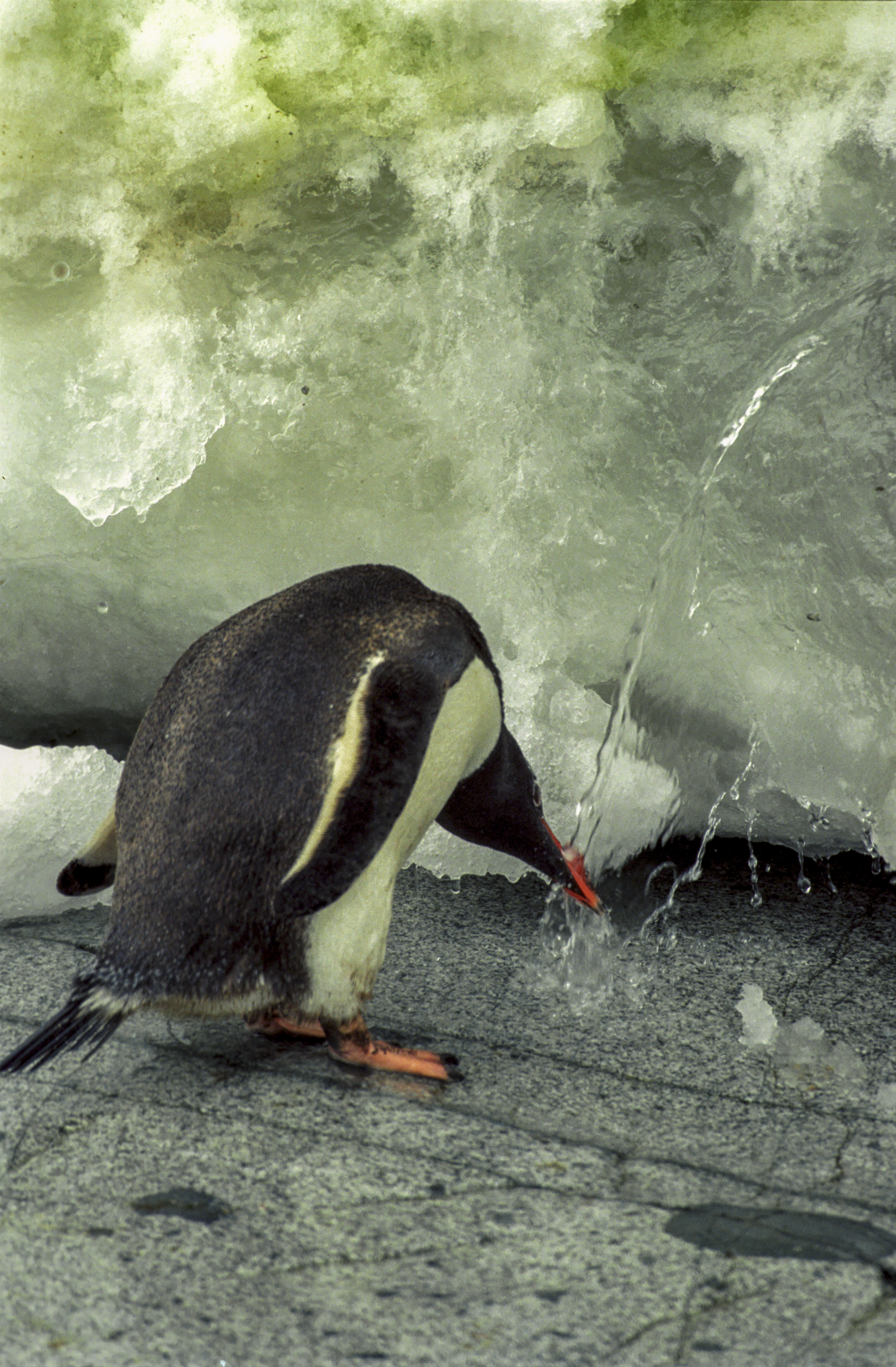 http://upload.wikimedia.org/wikipedia/commons/d/df/Antarctic,_gentoo_penguin_(js)_59.jpg