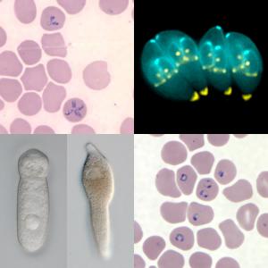 Apicomplexa - Paraziti apicomplexans