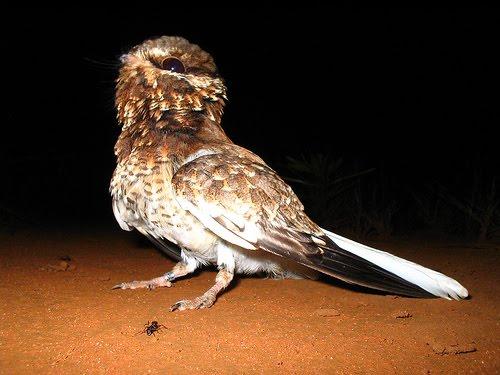 Resultado de imagem para O bacurau-de-rabo-branco