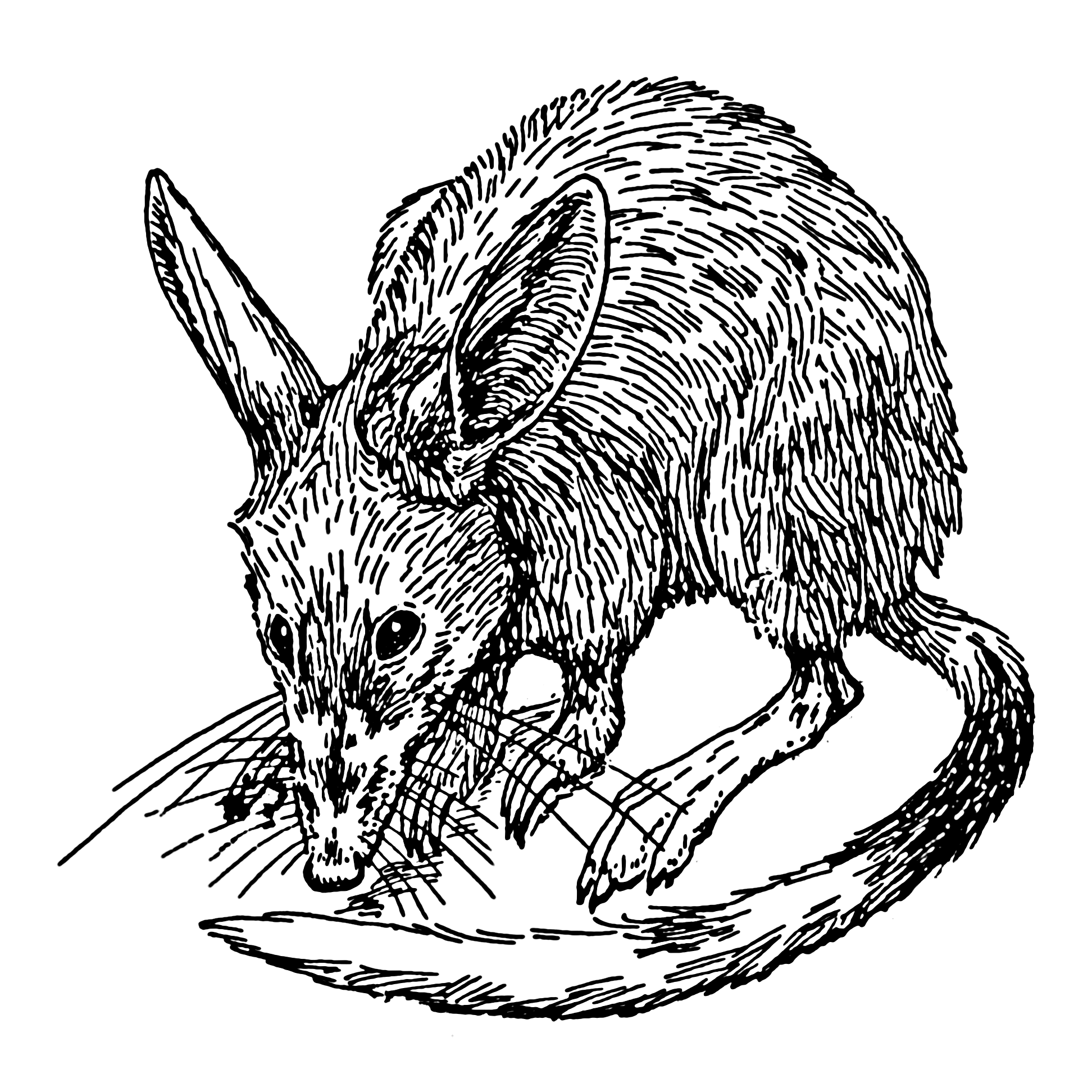 Line Drawing Wikipedia : File bandicoot psf wikimedia commons