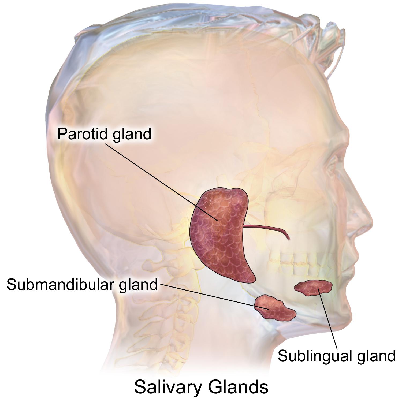 salivary gland wikiwand : salivary gland diagram - findchart.co