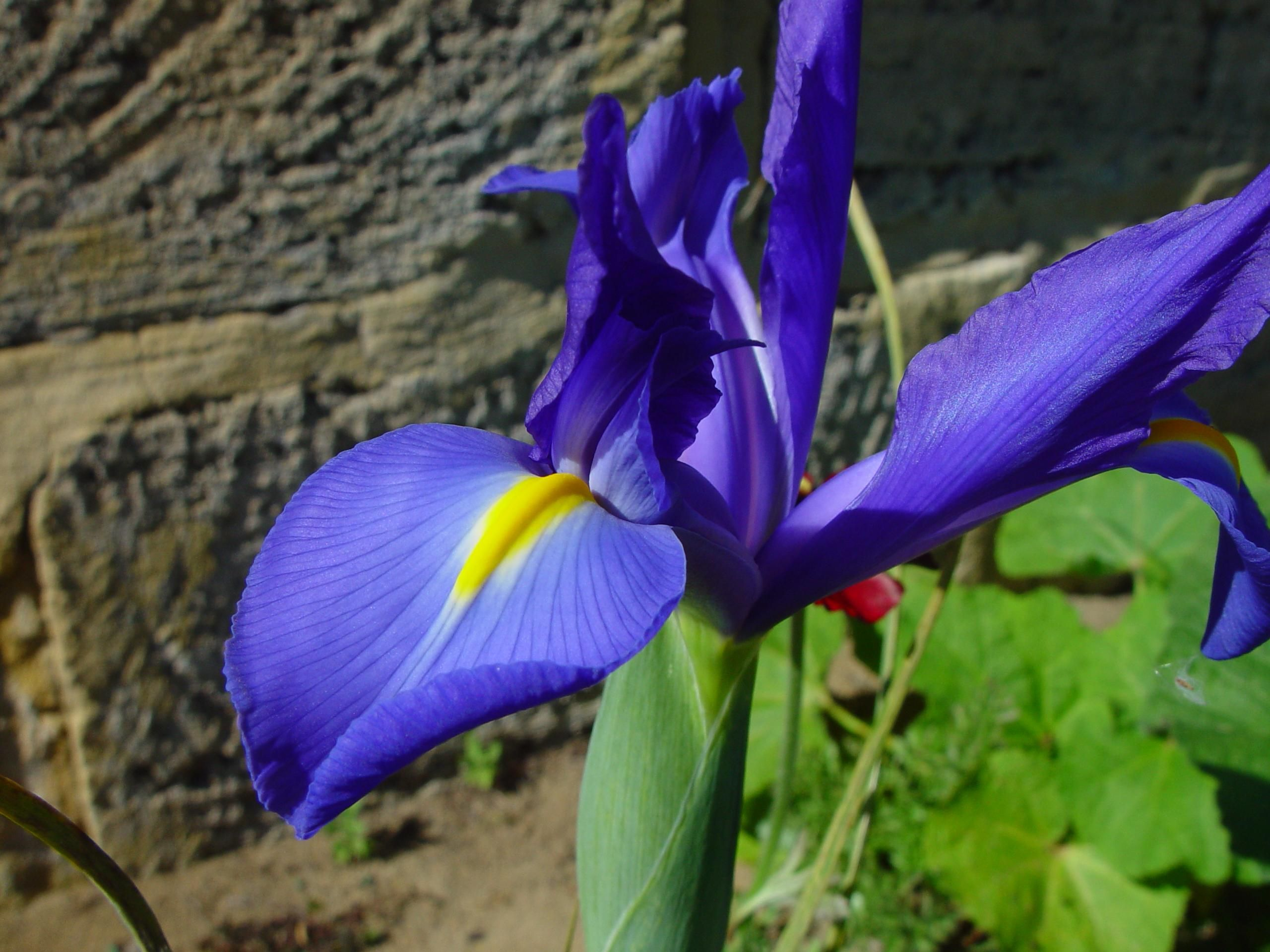 Fileblue Iris Flowerg Wikimedia Commons