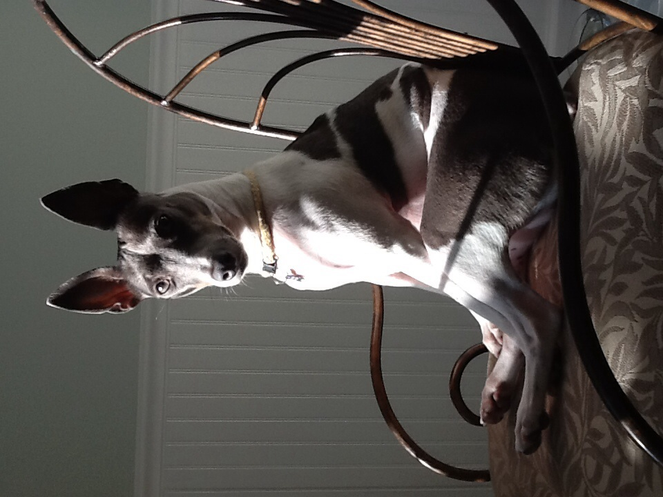 Image Result For Rat Terrier Coloring