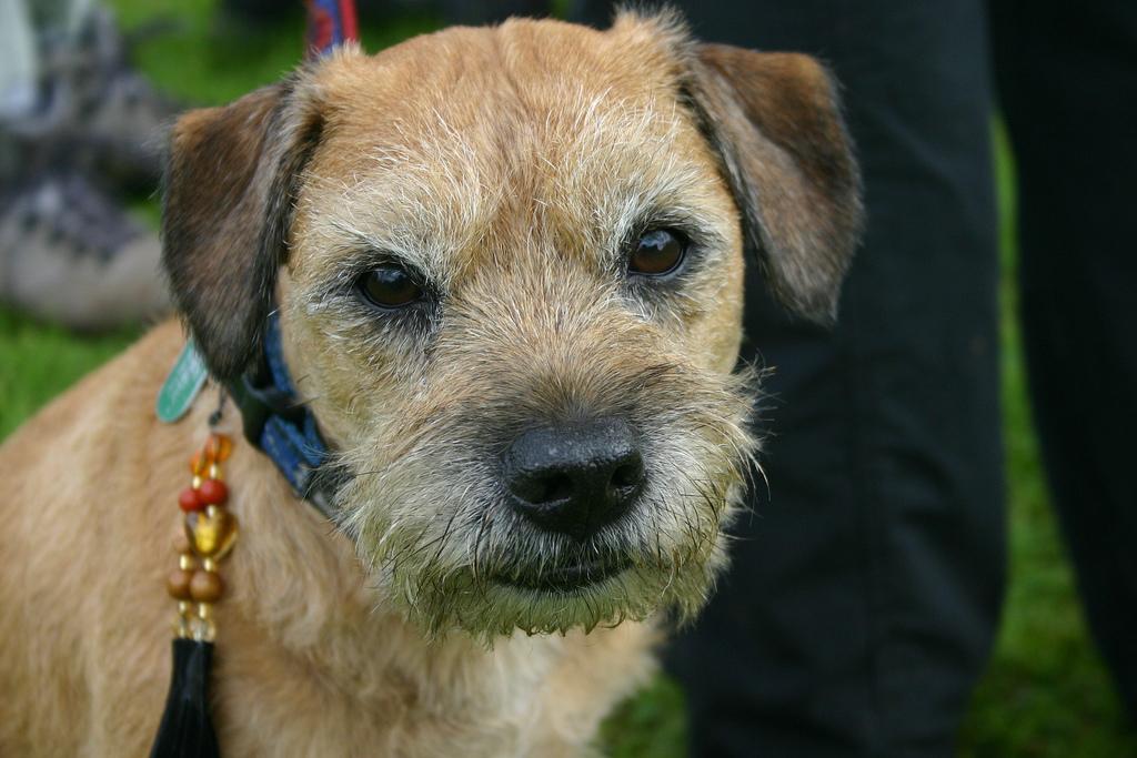 http://upload.wikimedia.org/wikipedia/commons/d/df/Border_Terrier_portrait.jpg
