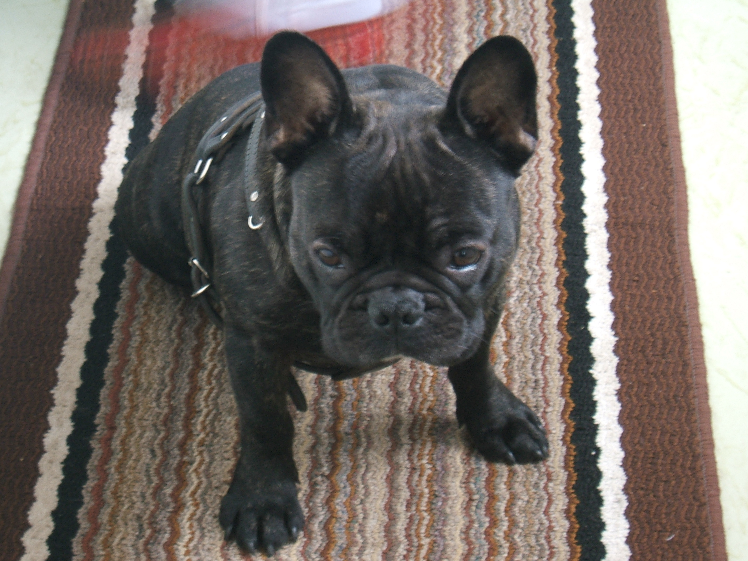 französische bulldogge black brindle