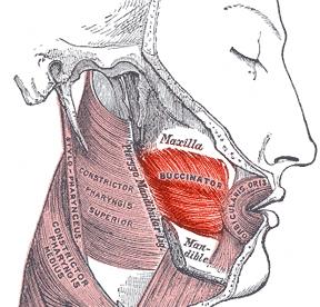 Buccinator muscle