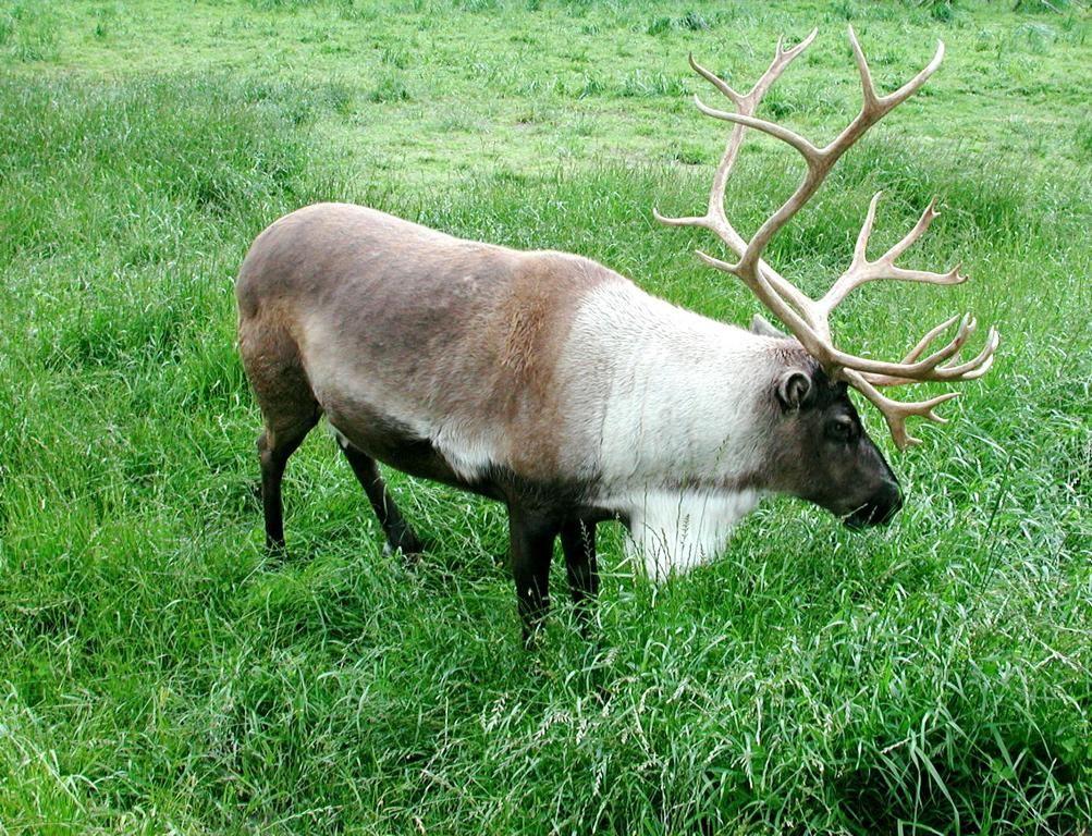 File:Caribou animal.jpg - Wikimedia Commons