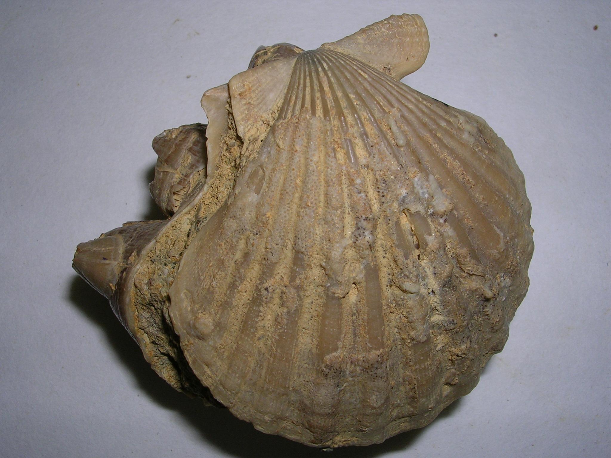 filechlamys sp3 miocenojpg wikimedia commons