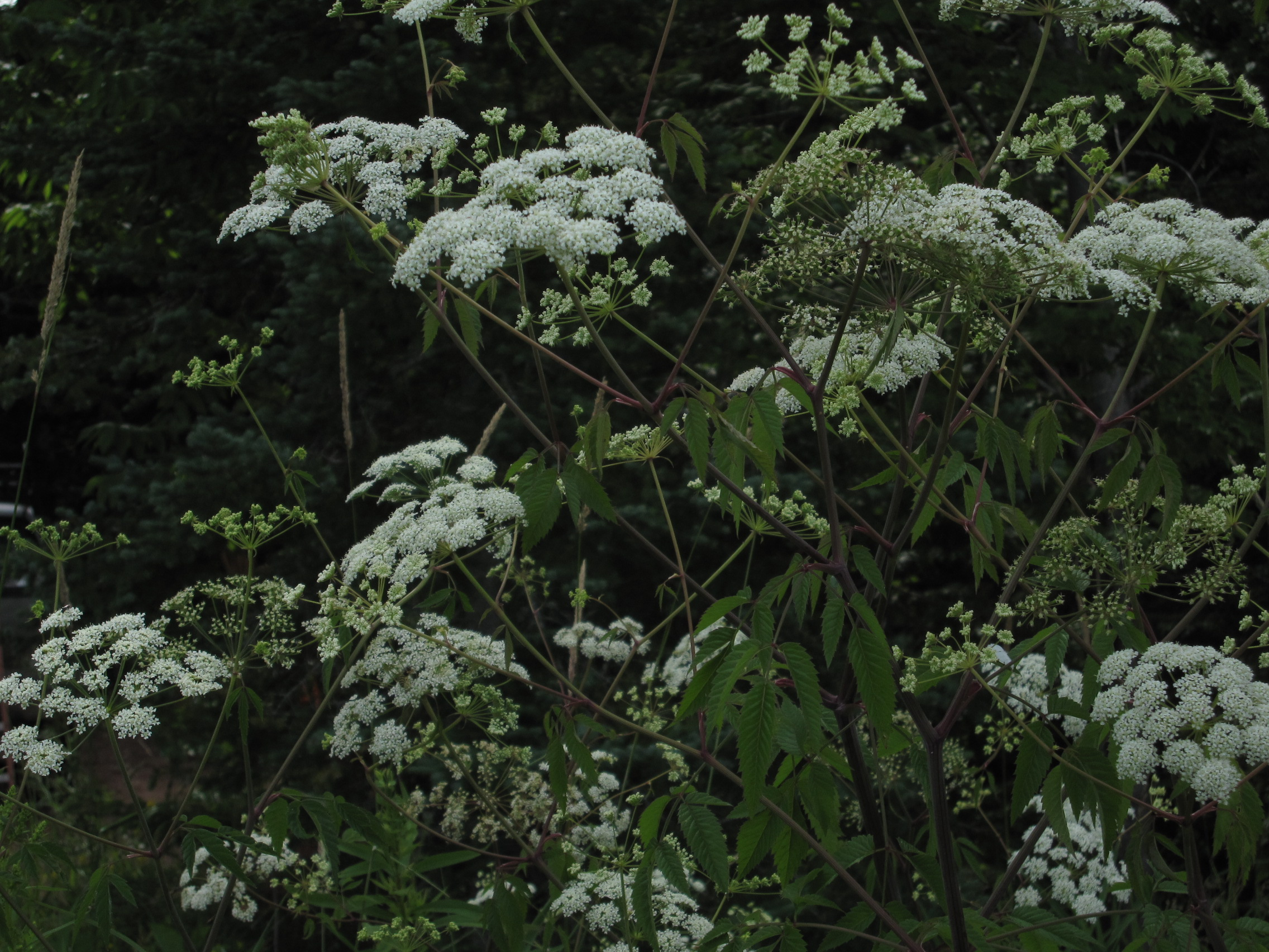 Cicuta maculata - Wikipedia