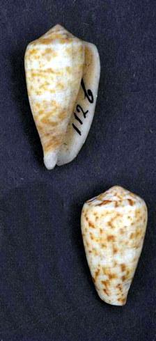 File:Conus purissimus 001.jpg
