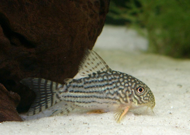 Sterba 39 s corydoras corydoras sterbai fishie pinterest for Cory cat fish