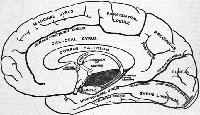 EB1911 Brain Fig. 11-Gyri and Sulci on Mesial aspect.jpg