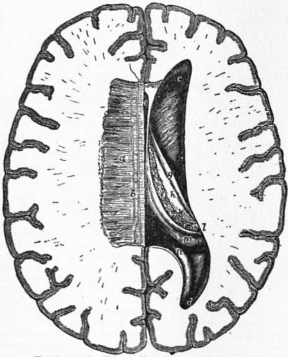 EB1911 Brain Fig. 12-Right ventricle.jpg