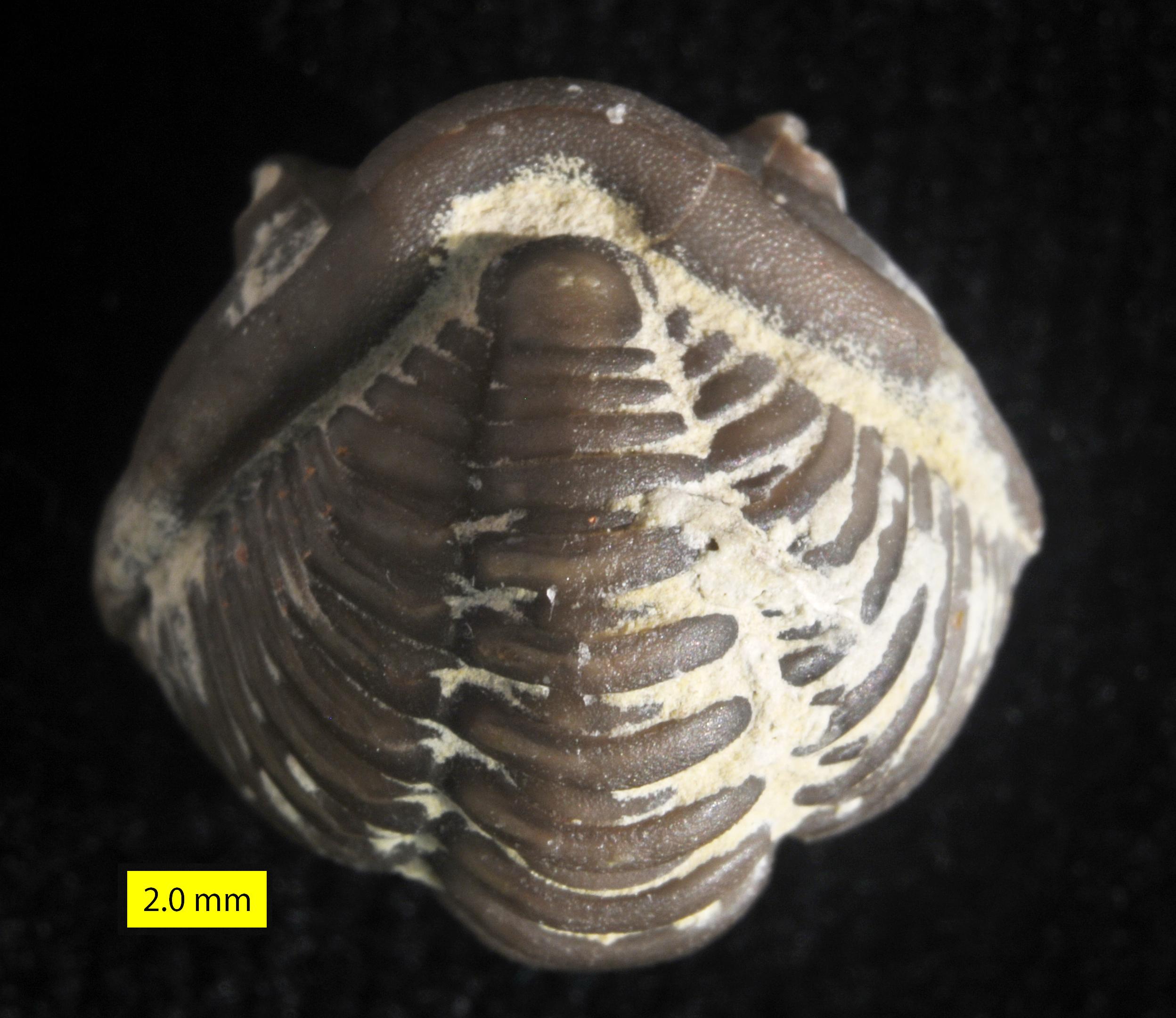 Image result for flexicalymene pygidium