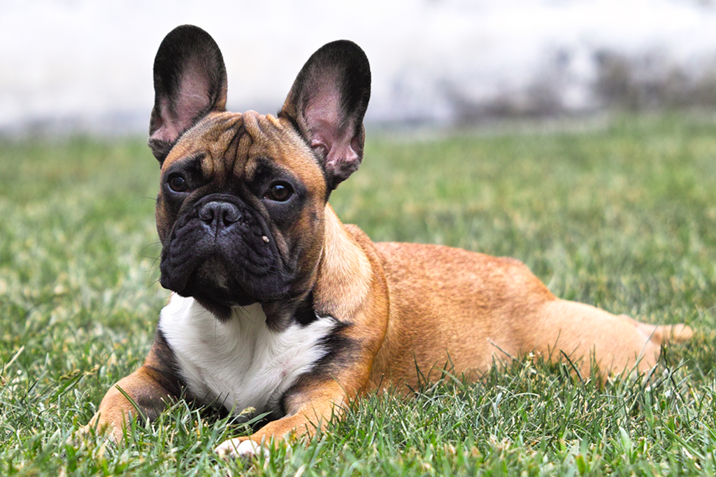 french bulldog wiki file french bulldog on the grass jpg wikimedia commons 1376