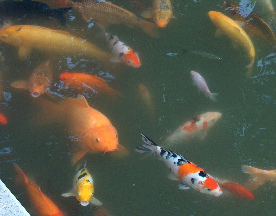 koi und goldfische datei goldfische wuhan jpg wikipedia