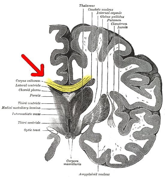 File:Gray 718-emphasizing-corpus-callosum.png - Wikimedia Commons
