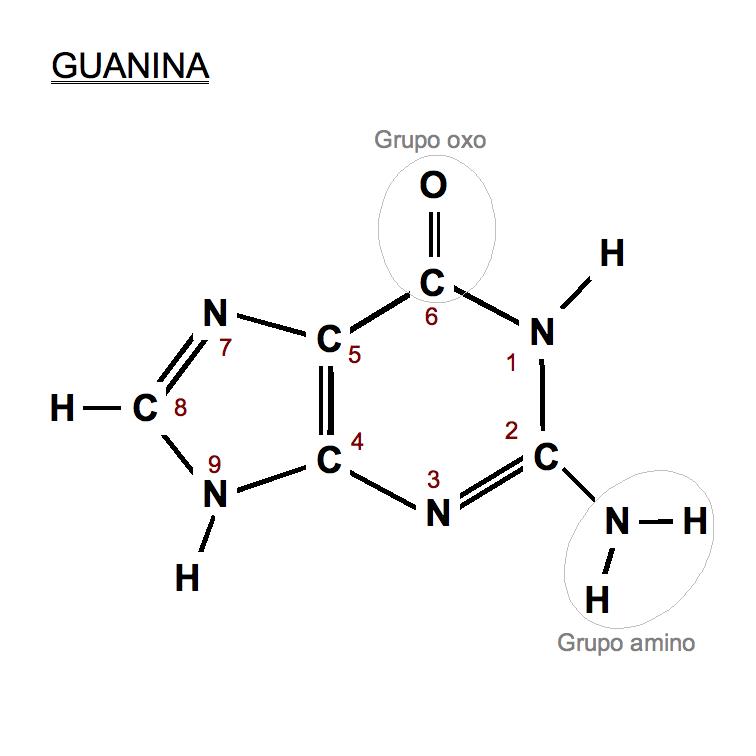Dudas Genética Guanina