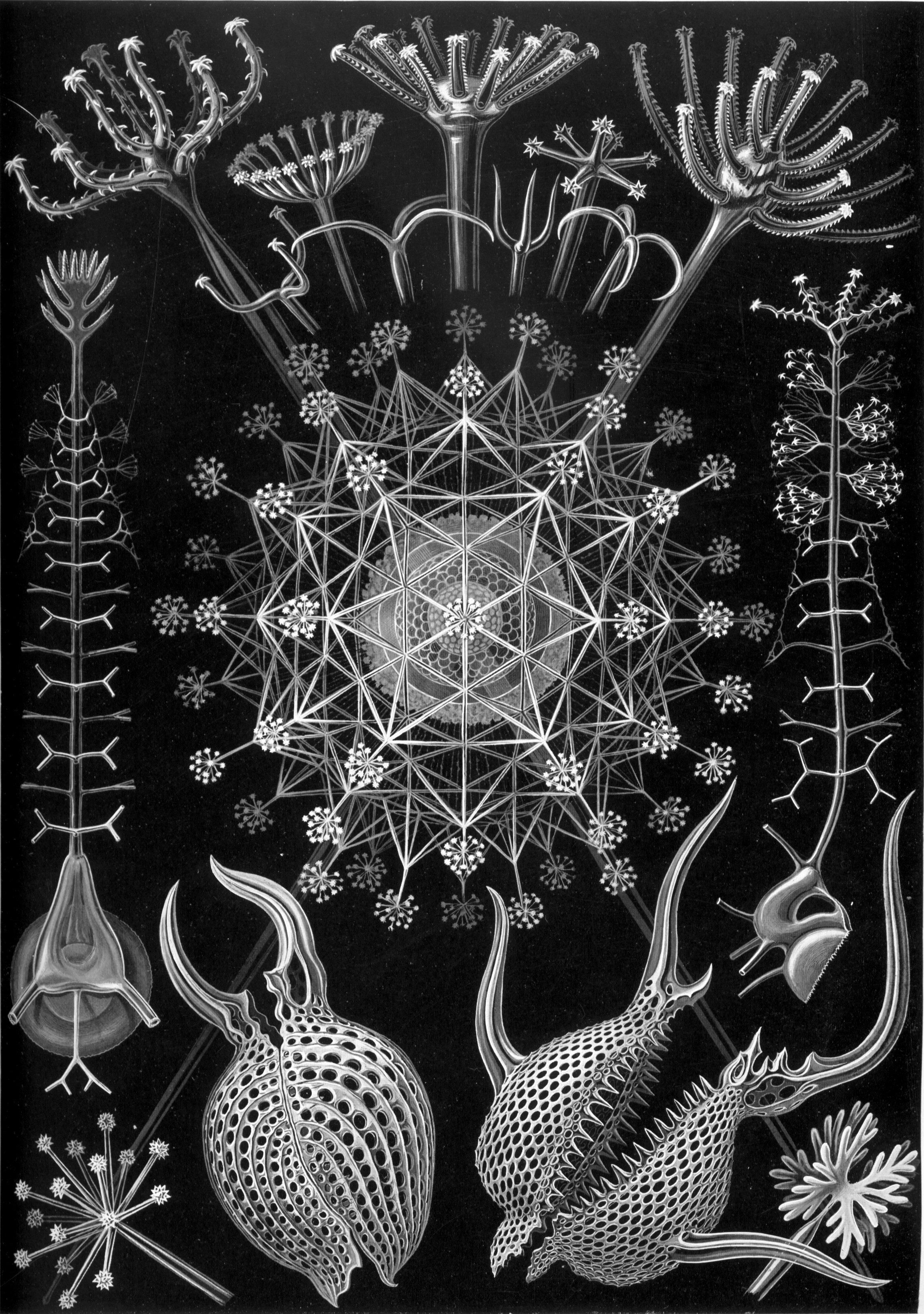 Haeckel Phaeodaria 61.jpg