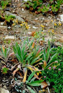 <i>Hieracium albertinum</i> species of plant