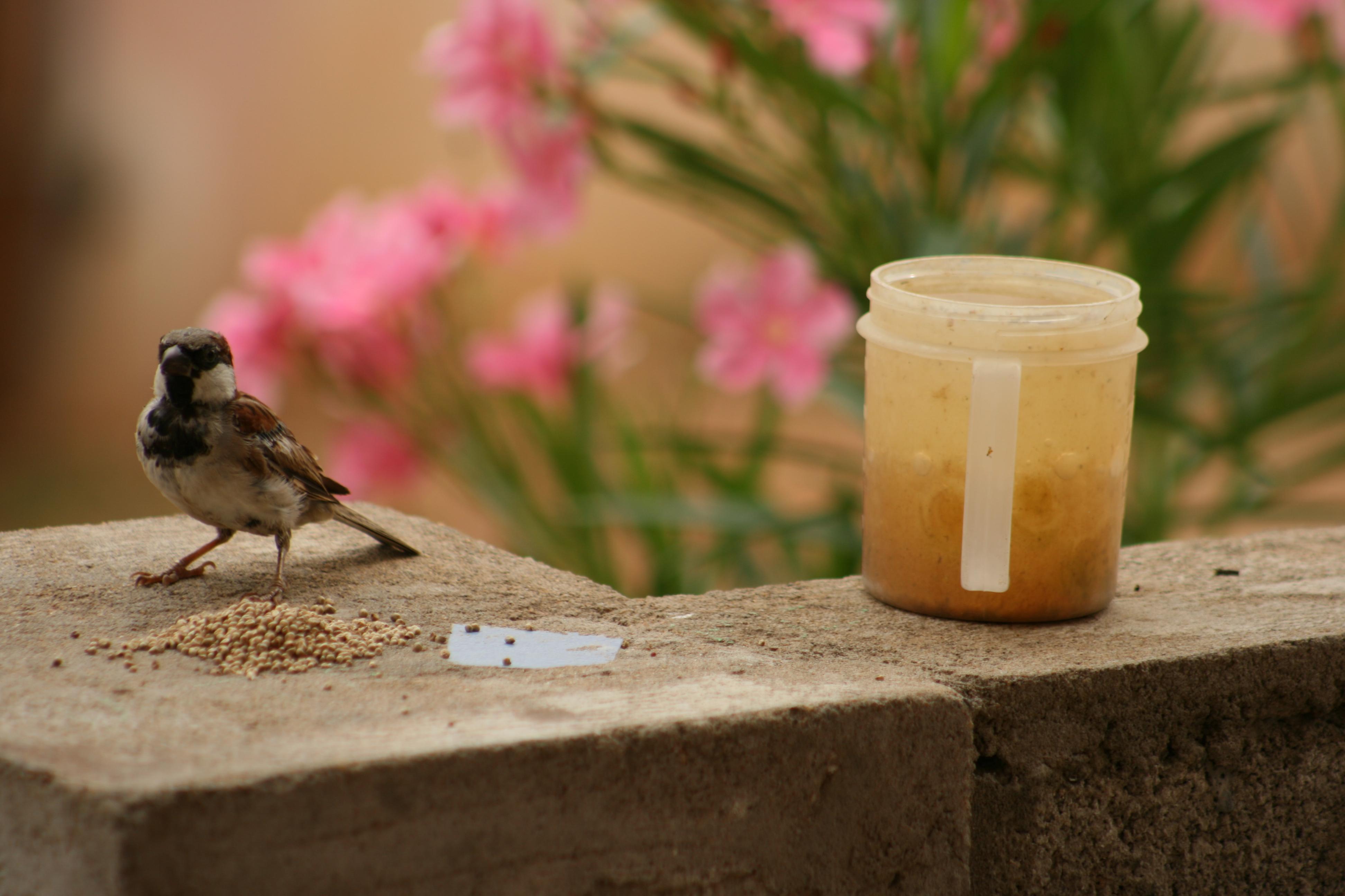 Description House Sparrow Male, Tamil Nadu, India.jpg