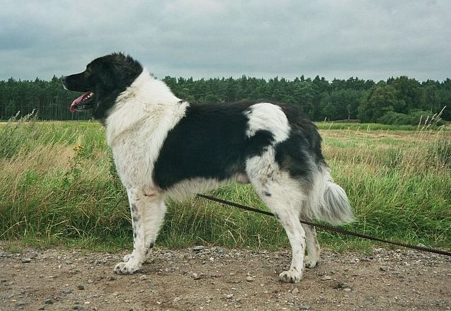 Livestock Dog Breeds