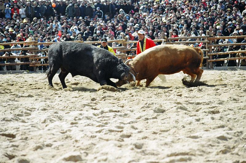 Description Korea-2006 Cheongdo Bullfighting Festival-01.jpg
